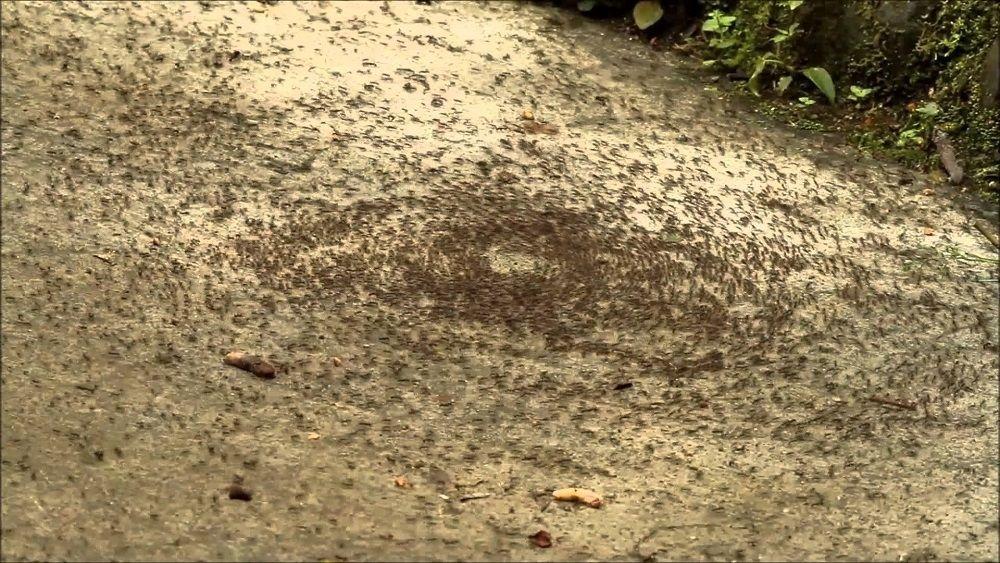 Тайна смертельного хоровода у муравьев